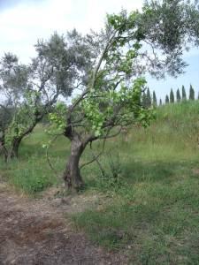 Vines trained up trees, Mas de Tourelles
