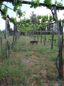 Vines trained on pergolas, Mas de Tourelles