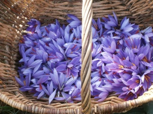 Basket of freshly harvested saffron flowers