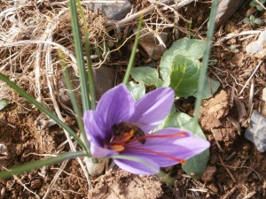 Saffron stamen and bee