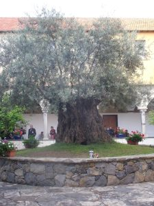 Ancient olive tree, monastery Taggia