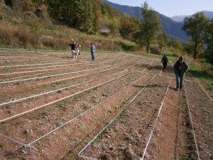Harvested field of saffron crocus