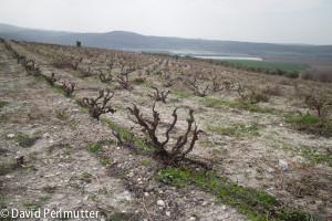 Recanati wild carignan vineyard