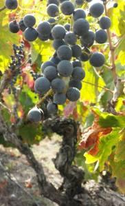 Votkin old vine Carignan in 2014