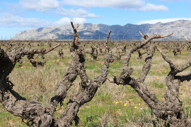 Old vines with Ste Victoire in the background