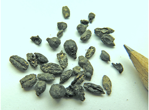 1,500 year old burnt grape seeds