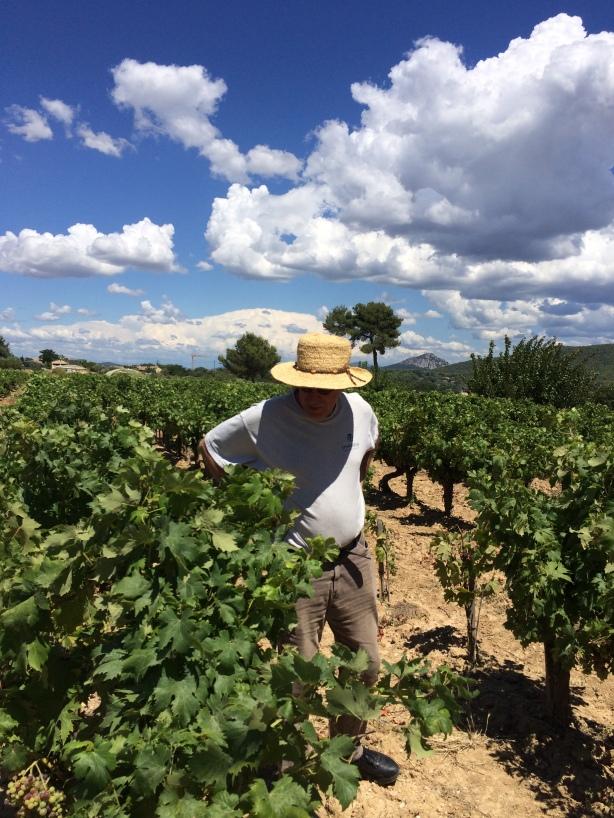Randall Grahm looking at Tibouren vines