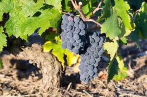 Carignan old vines