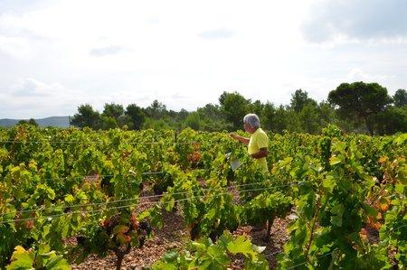 Carignan vines at Ferrals-les-Corbieres